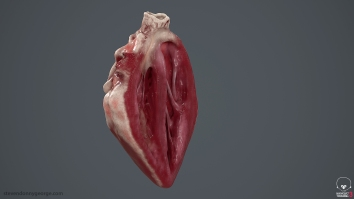 Human_Heart_Cross_Section_SG_002