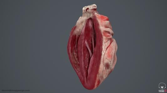 Human_Heart_Cross_Section_SG_008